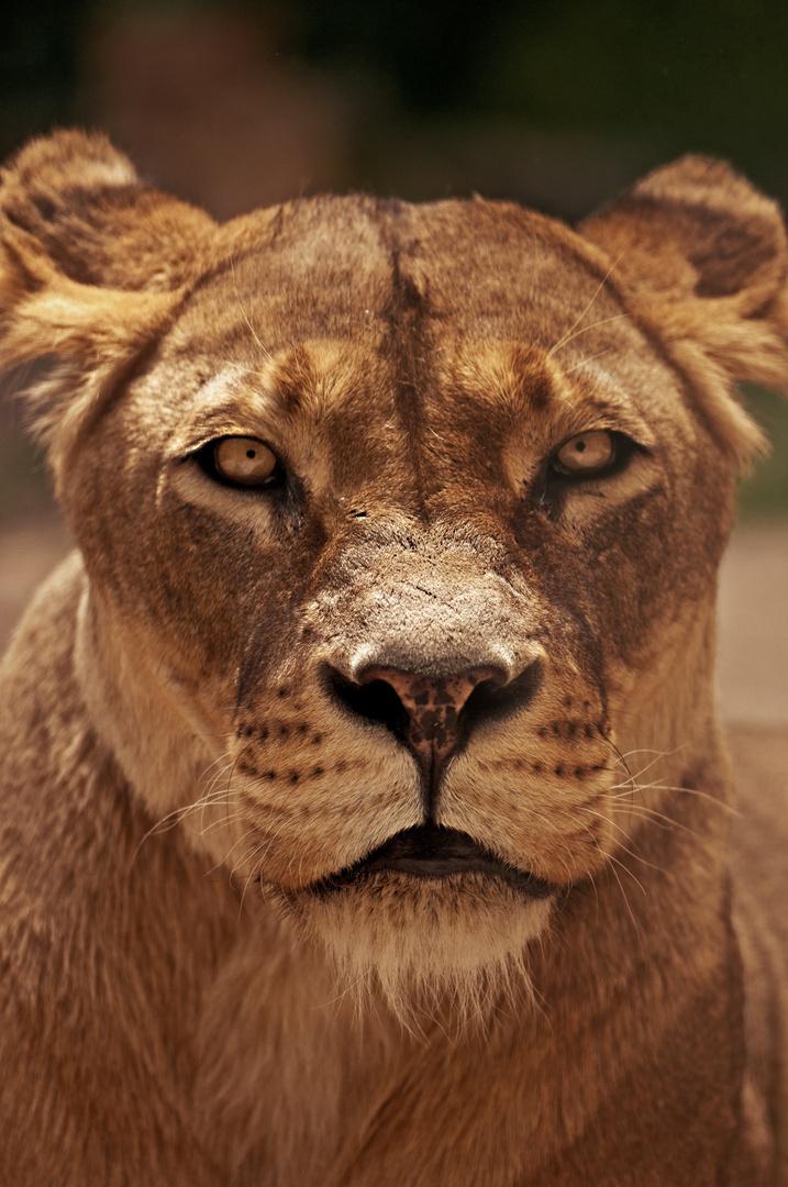 Das Interesse einer Löwin