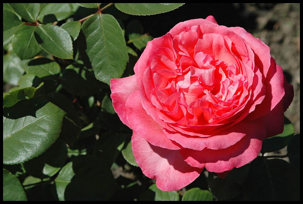 das ist doch ne Rose ?