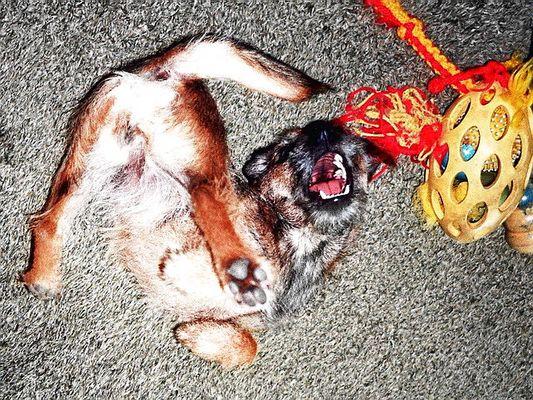 Das ist ein Hund: Unser Border-Terrier Fietje