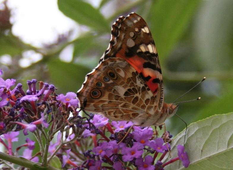 Das ist ein leckerer Honig im Schmetterlingsflieder !