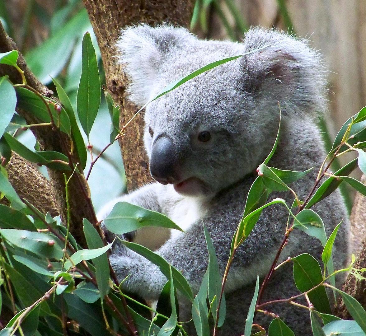 Das ist mein Eukaliptus!