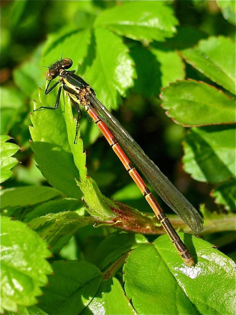 Das ist sie: die allerallererste Libelle dieses Jahr für mich!