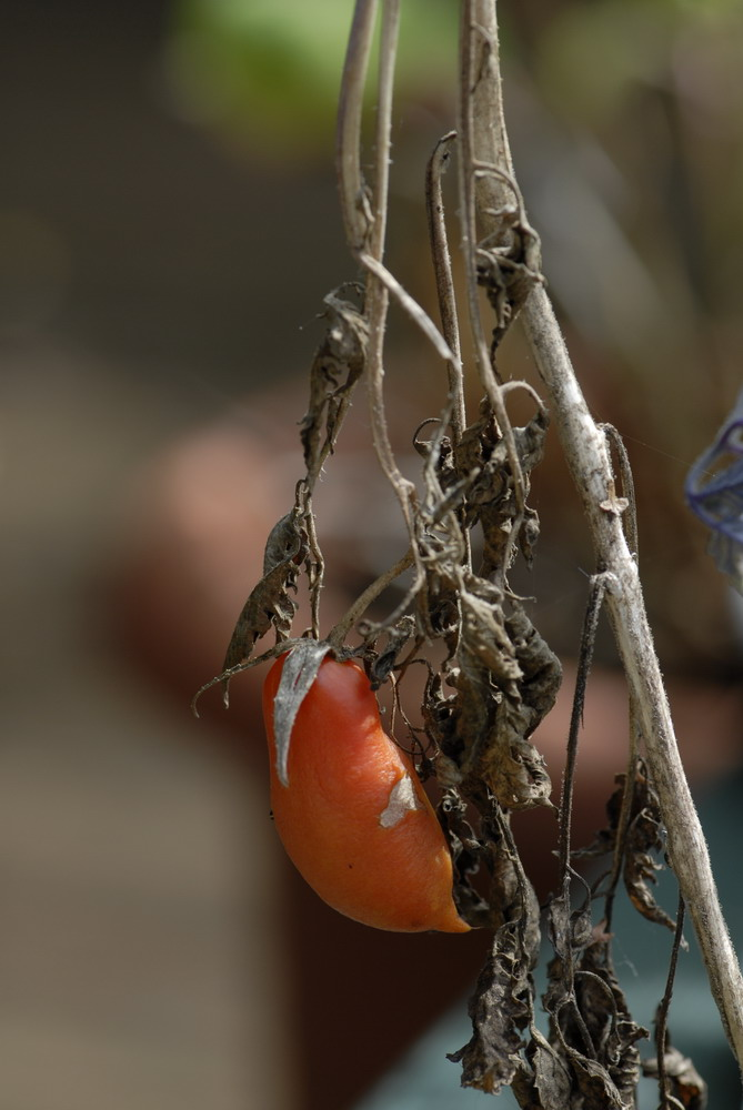 das ist unsere Tomate Jahrgang 2007