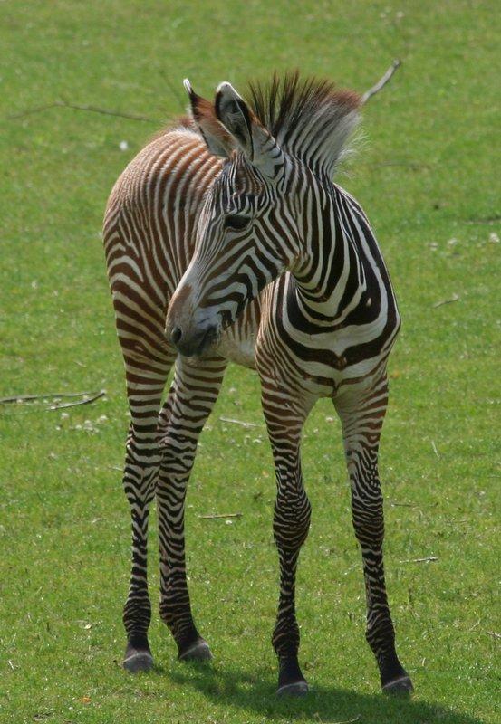 Das junge Zebra...