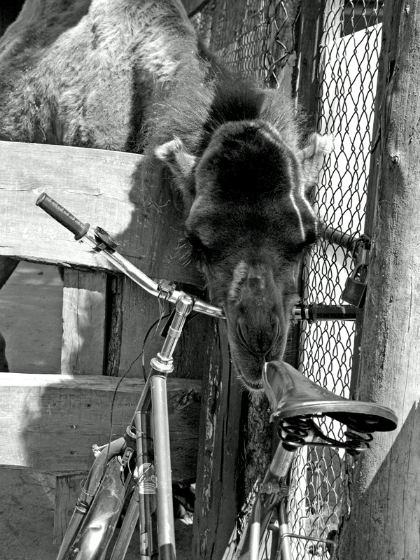 das Kamel frisst gerne Fahrräder