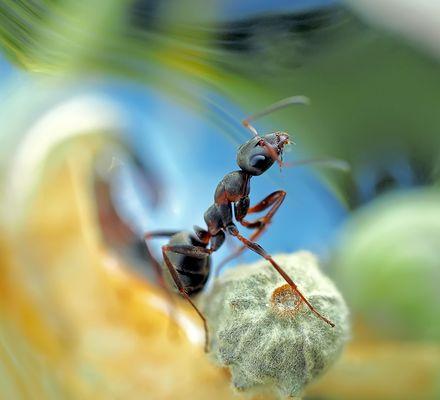 Das Klagelied der Ameise! - Le soupir de la fourmi…