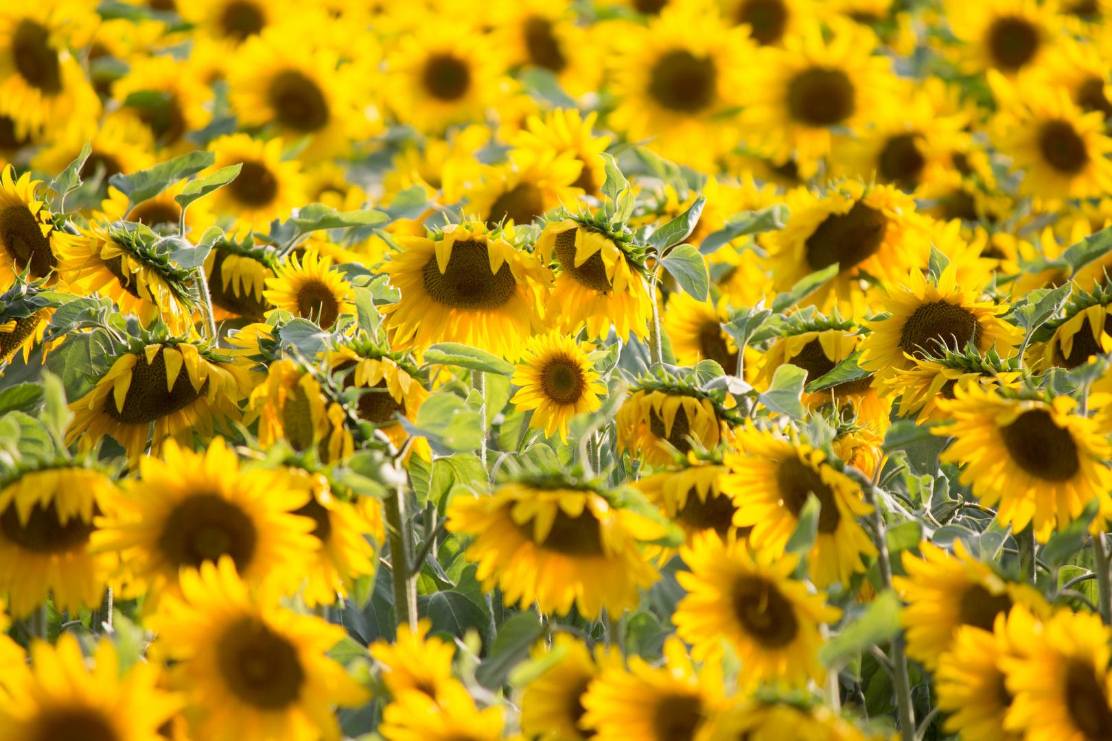Das klassische Sonnenblumenfeld