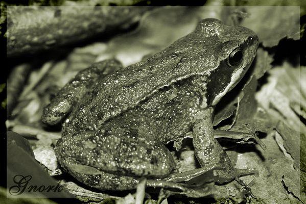 Das Kleine frosch