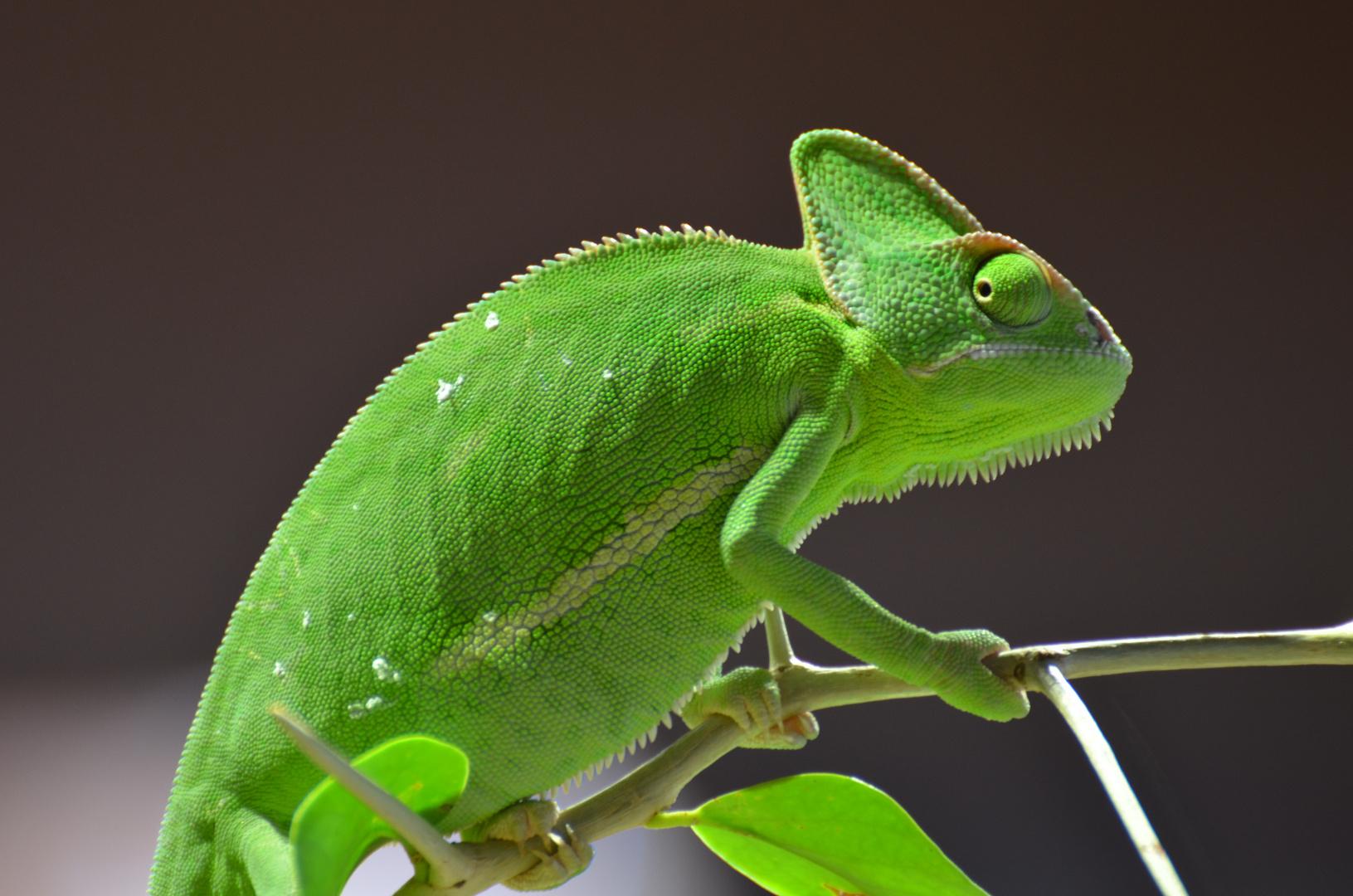 Das kleine grüne Chamäleon