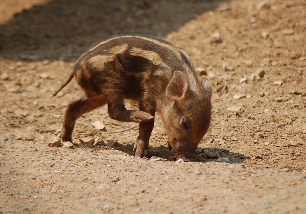 Das kleine Schweinchen