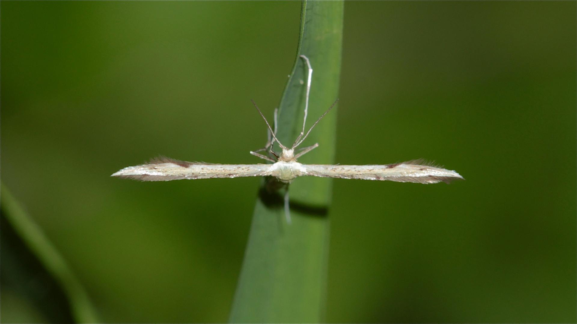 Das kleinste Federgeistchen, das ich jemals gesehen habe: Adaina microdactyla