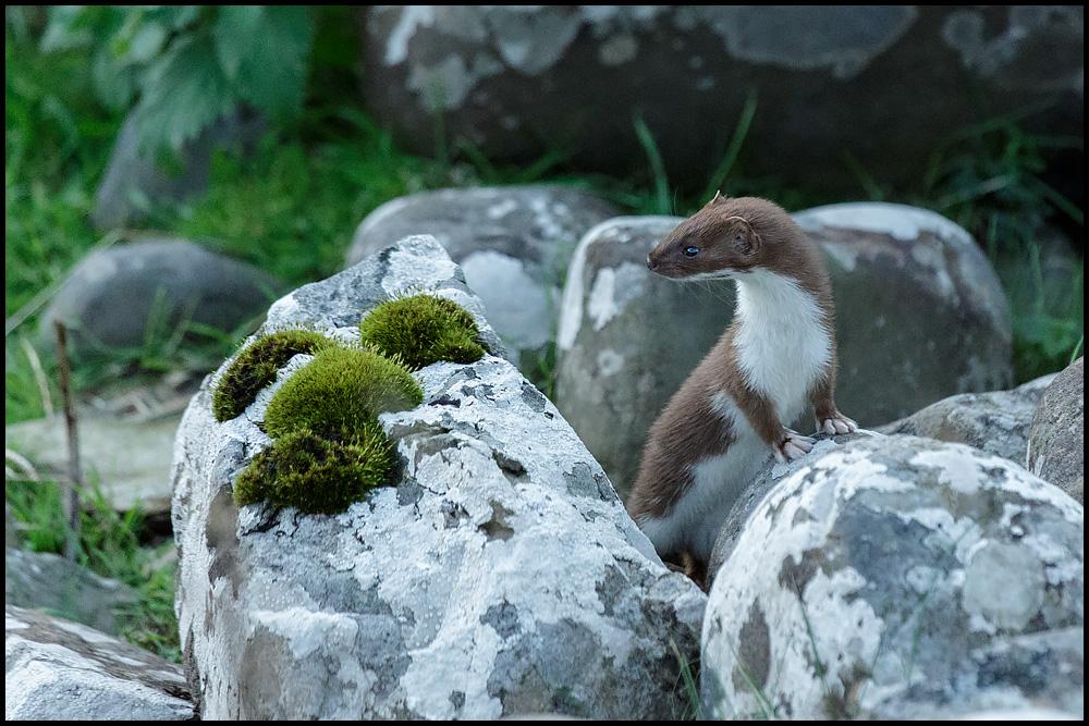Das kleinste Raubtier der Welt ... das Hermännchen
