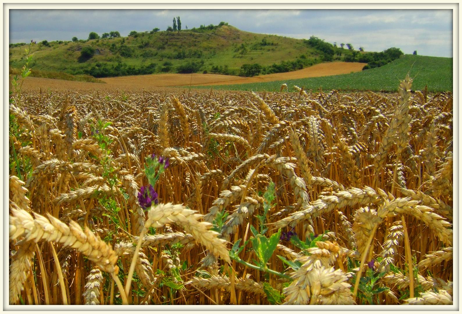 Das Korn ist reif...