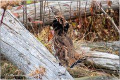 Das Kragenhuhn (Bonasa umbellus)