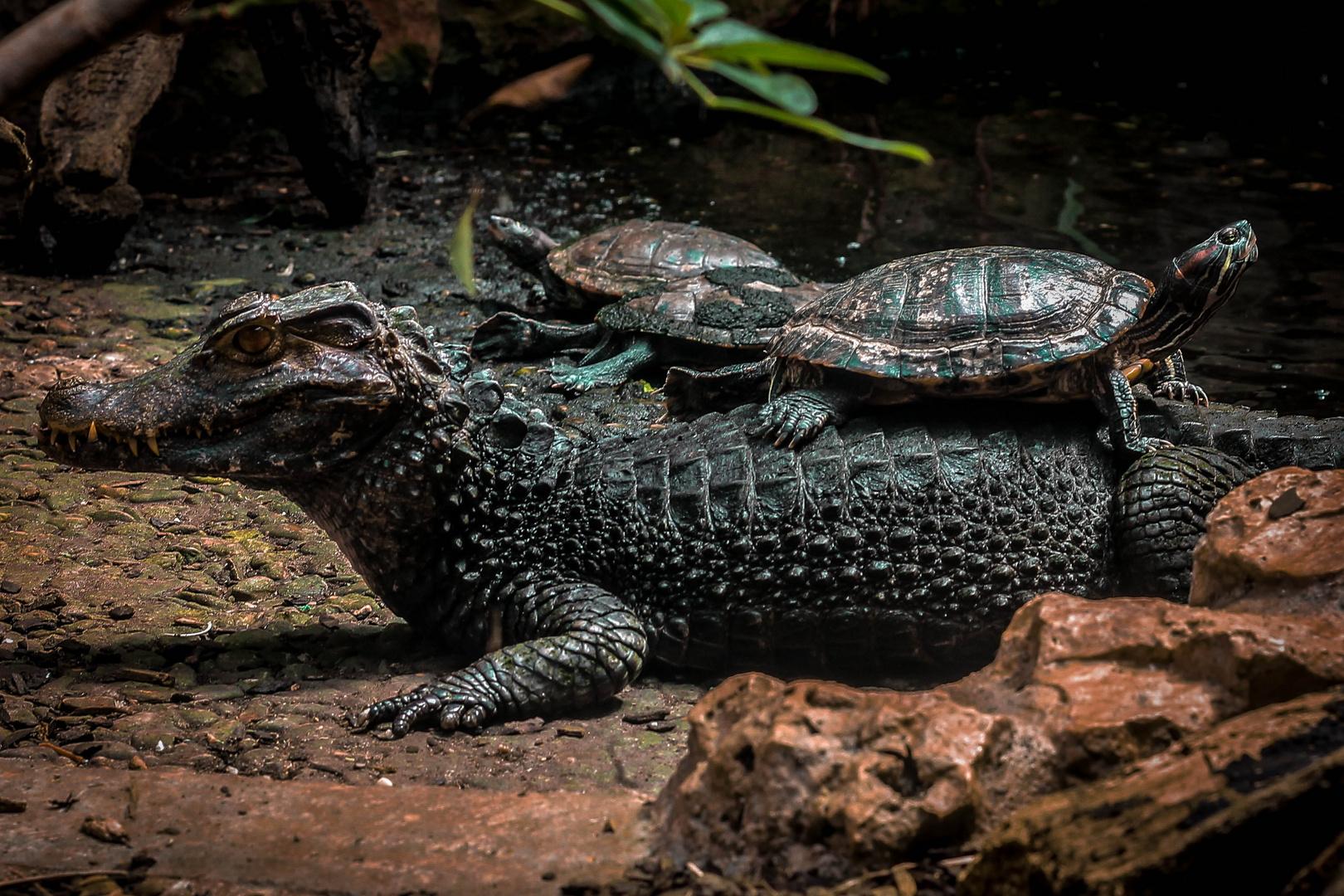 Das Krokodil und die Schildkröte