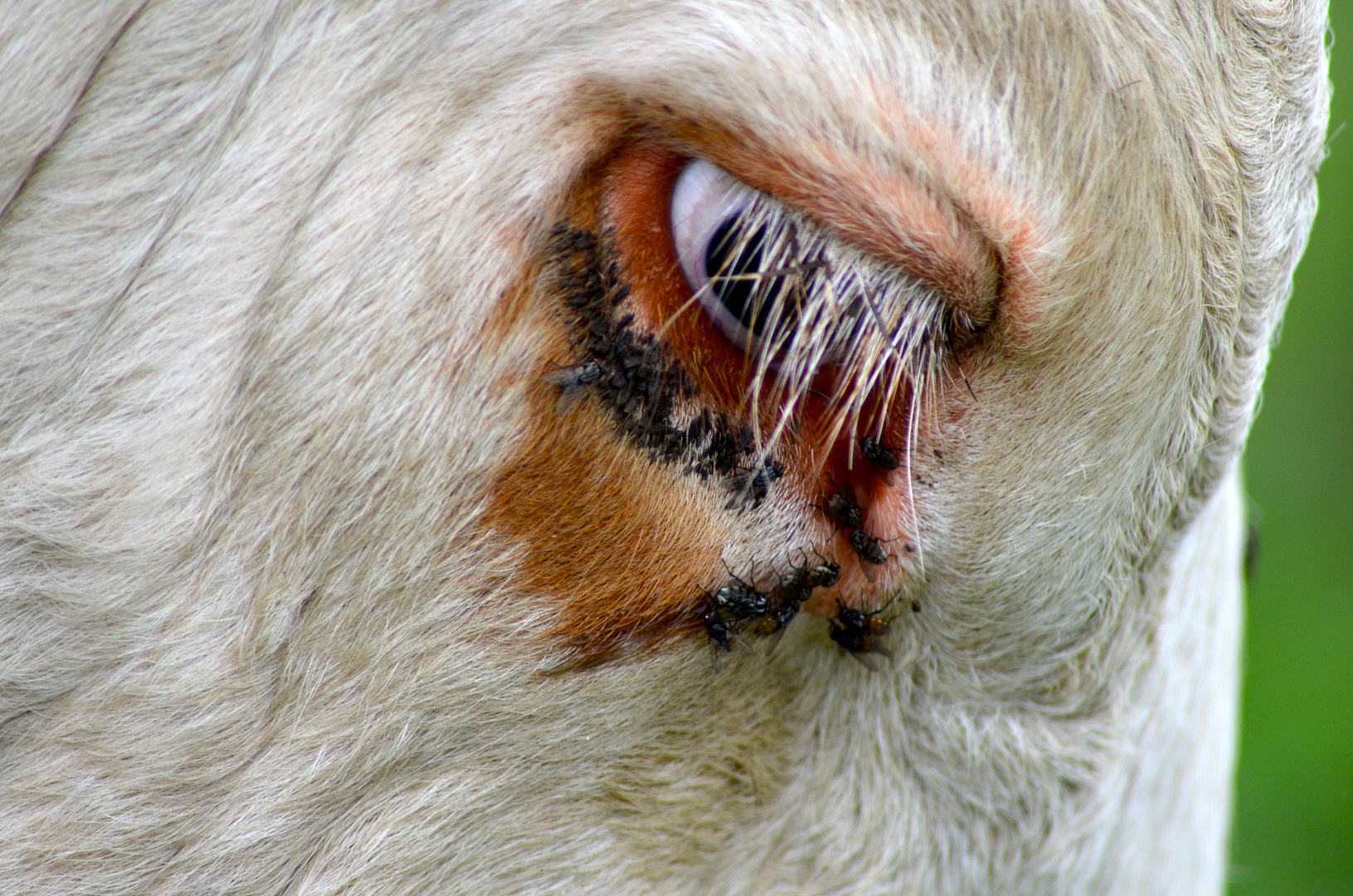 Das Kuh - Auge