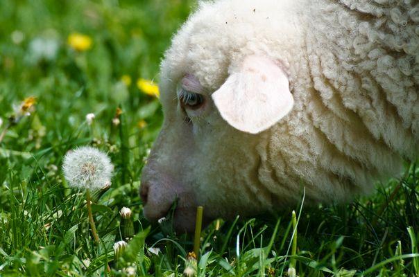 Das Lamm und die Pusteblume