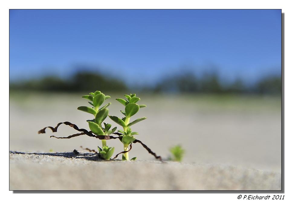Das Leben einer kleinen Strandpflanze vor dem Ansturm der Urlauber