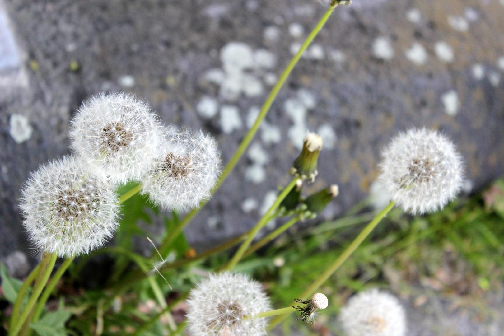 Das Leben ist wie eine Pusteblume. Wenn die Zeit gekommen ist, muss jeder alleine fliegen.