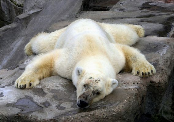 Das lebende Bärenfell!