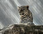 das lebende Denkmal vom Leoparden
