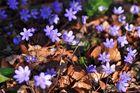 Das Leberblümchen (Hepatica nobilis)