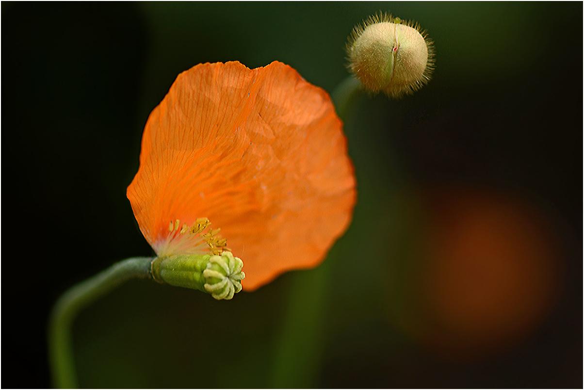 das letzte Blütenblatt