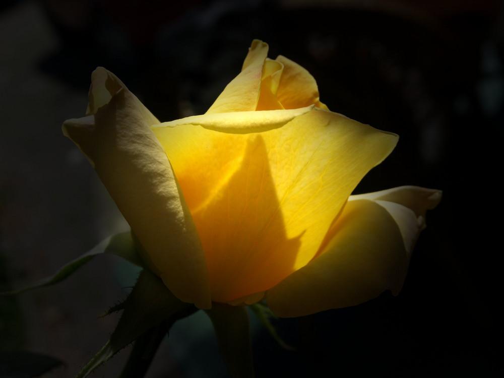 Das Leuchten der Rose