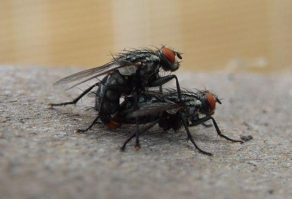 Das Liebesleben der Fliege
