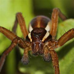 Das Männchen der Gerandeten Jagdspinne (Dolomedes fimbriatus) . . .