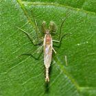Das Männchen einer Zuckmückenart (Fam. Chironomidae)