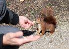 Das mutige Eichhörchen