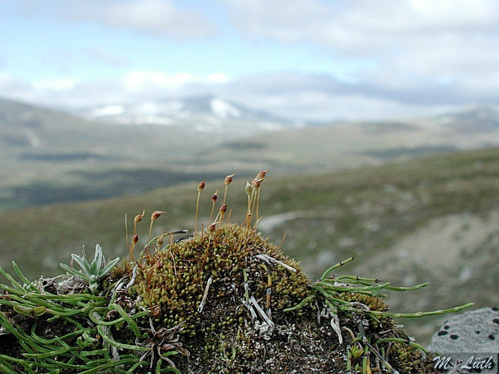 Das Nahe und das Weite - Conostomum tetragonum in Norwegen