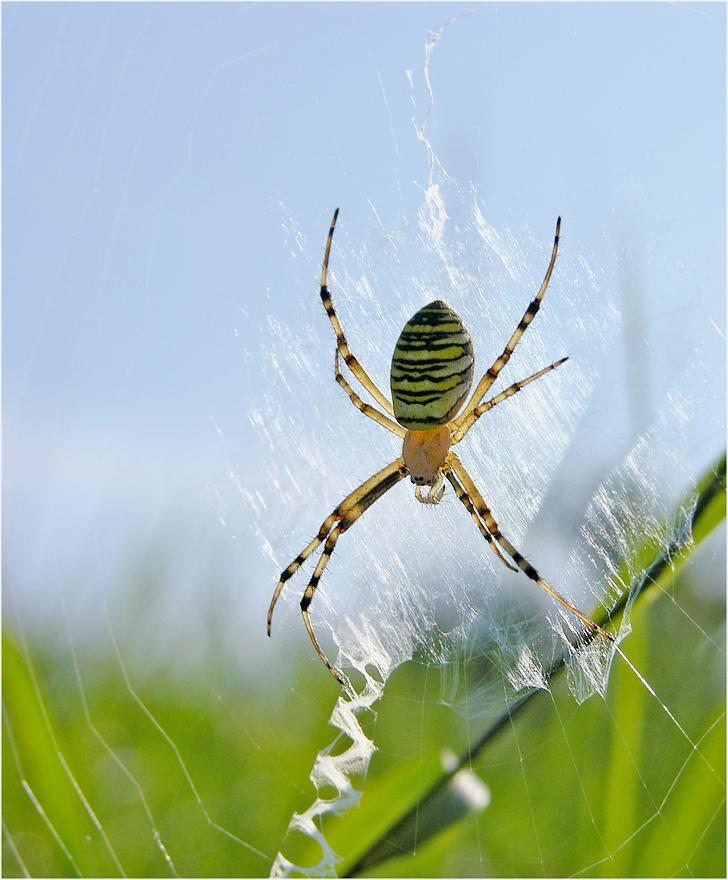 Das Netz der Wespenspinne ..