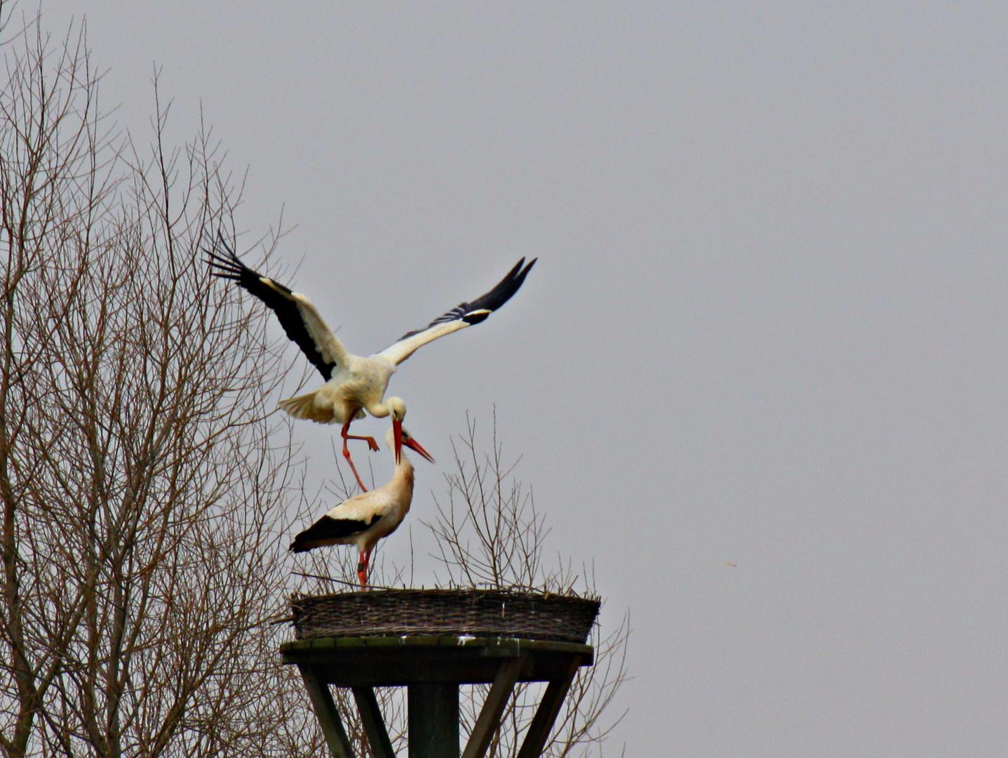 Das neue Storchenpaar Rheinaue Walsun 2013