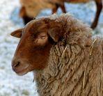 Das ´olle Schaf