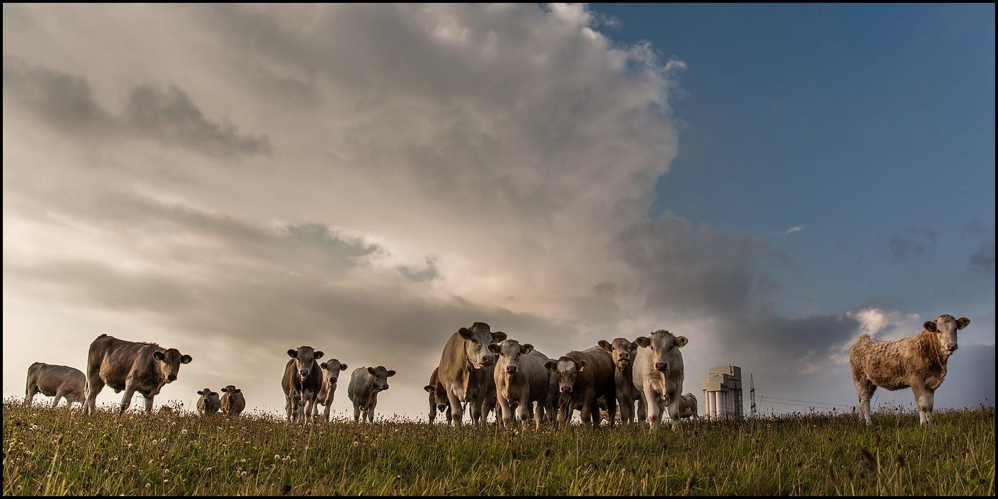 ...Das Orchester der Kühe...