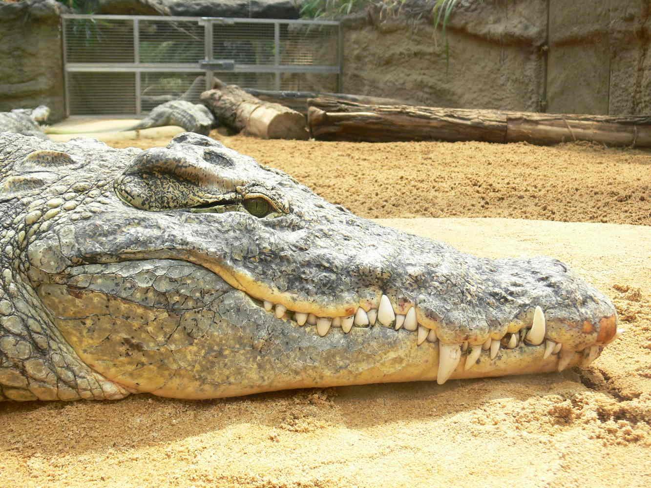 Das passende Krokodil dazu