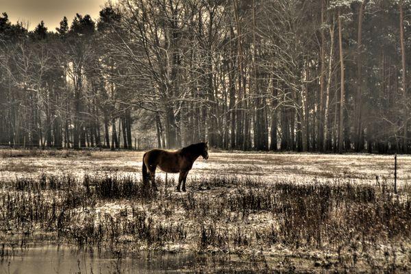 Das Pferd am Wald
