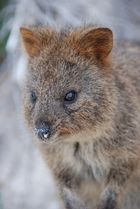 Das Quokka auf Rottnest Island, Western Australia