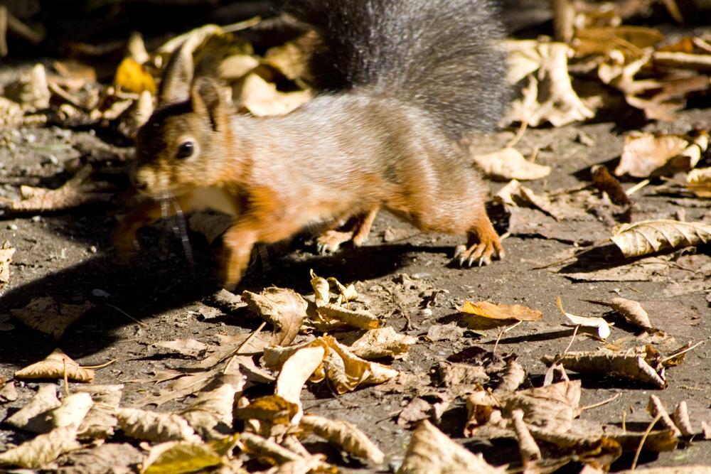 Das rasende Eichhörnchen