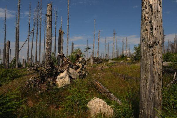 Das Reich des Borkenkäfers - Dreisessel Bayrischer Wald -