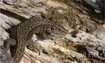 Das Reptil des Jahres 2006 - Die Waldeidechse