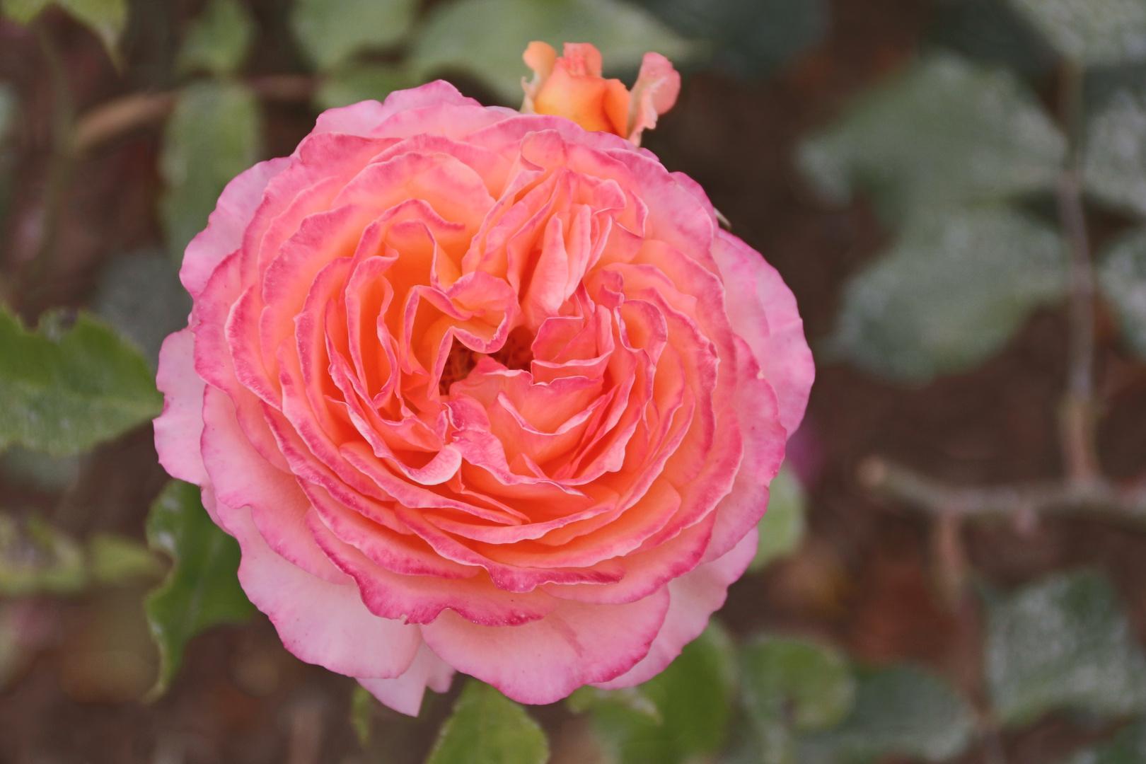 Das Röschen vom Rosengarten