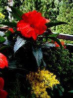 Das rote Edellieschen läutet den Frühling ein!