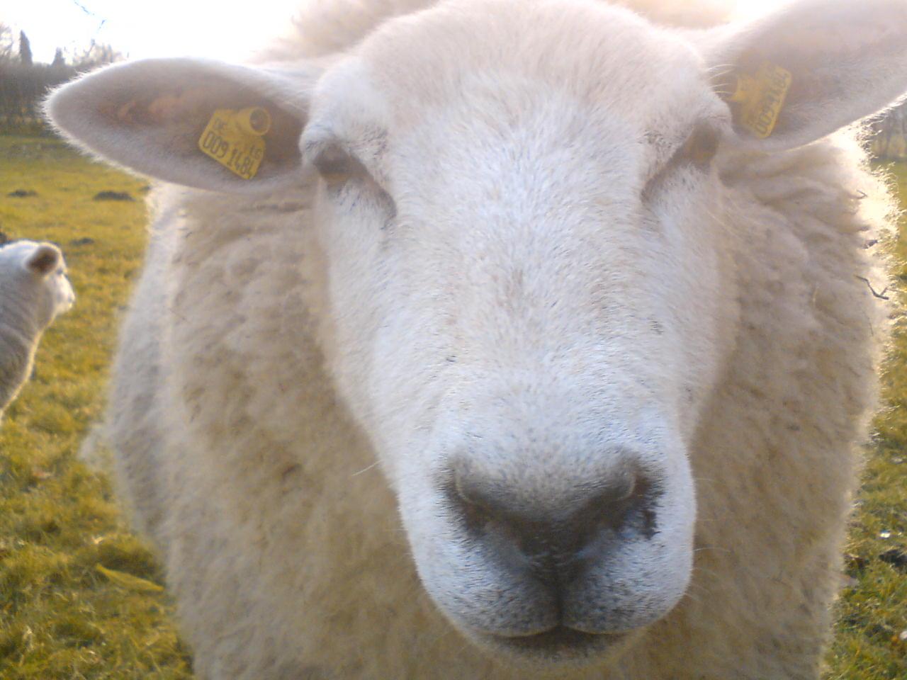 Das Schaf aus der Nachbarschaft