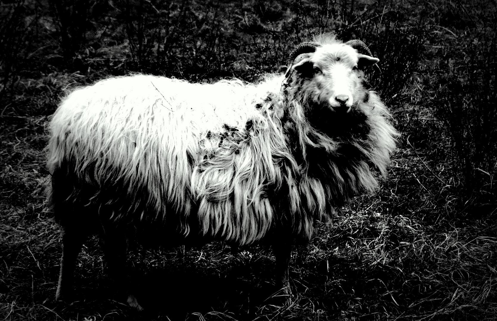 Das Schaf....
