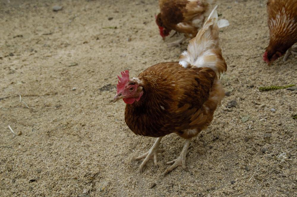 Das scharrende Huhn aus Bibershof