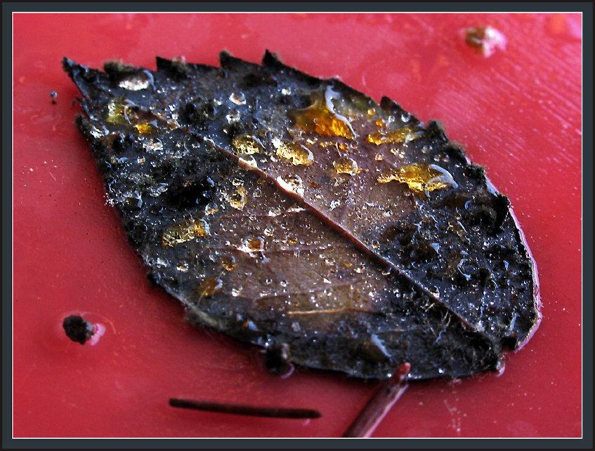 das schwarze Blatt, das an der Giesskanne klebte...