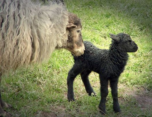 Das schwarze Schaf